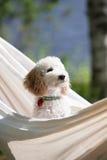 2 3 4 6 ημέρες ανασκόπησης που αναπτύσσουν το μικροσκοπικό poodle λευκό εβδομάδας κουταβιών Στοκ φωτογραφία με δικαίωμα ελεύθερης χρήσης