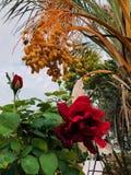 Ημερομηνίες στον κήπο στοκ εικόνα με δικαίωμα ελεύθερης χρήσης