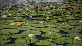 Ημισεληνοειδή μαξιλάρια Clermont κρίνων λιμνών Στοκ Εικόνες