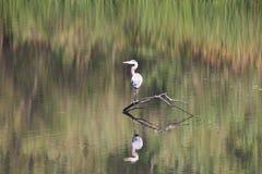 ηξών Περιφερειακό πάρκο Riverfront, χώρα κρασιού Sonoma, Καλιφόρνια στοκ φωτογραφίες