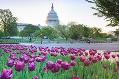 ΗΠΑ Capitol και πορφυρές τουλίπες Washington DC Στοκ Φωτογραφίες