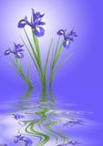 ηρεμία ίριδων λουλουδιών Στοκ εικόνες με δικαίωμα ελεύθερης χρήσης