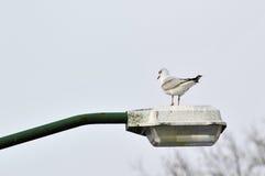 Γλάρος στο lamppost Στοκ Εικόνα