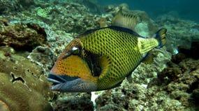 ληφθείς τιτάνας της Αιγύπτου αλεών jackfish triggerfish Στοκ Φωτογραφία