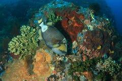 ληφθείς τιτάνας της Αιγύπτου αλεών jackfish triggerfish Στοκ φωτογραφία με δικαίωμα ελεύθερης χρήσης
