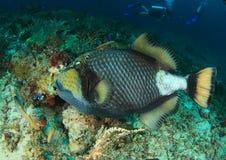 ληφθείς τιτάνας της Αιγύπτου αλεών jackfish triggerfish Στοκ φωτογραφίες με δικαίωμα ελεύθερης χρήσης