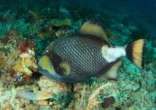 ληφθείς τιτάνας της Αιγύπτου αλεών jackfish triggerfish Στοκ Εικόνα