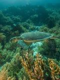 ληφθείσα sheikh χελώνα καρχαριών EL hawksbill s κόλπων sharm στοκ φωτογραφίες