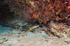 ληφθείσα sheikh χελώνα καρχαριών EL hawksbill s κόλπων sharm Στοκ Εικόνες