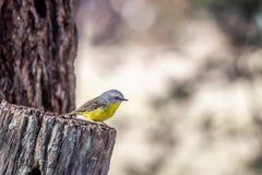 Η άγρια ανατολική κίτρινη Robin, κρεμώντας βράχος, Βικτώρια, Αυστραλία, τον Ιούνιο του 2019 στοκ φωτογραφία με δικαίωμα ελεύθερης χρήσης