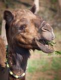 Η καμήλα βόσκει στους θάμνους ακακιών με τα αγκάθια στοκ φωτογραφία