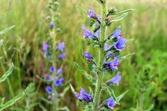 Η άγρια μπλε οχιά ` s εγκαταστάσεων bugloss ή σε ένα θερινό λιβάδι Στοκ φωτογραφίες με δικαίωμα ελεύθερης χρήσης