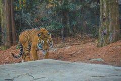 Η άγρια τίγρη που εξετάζει με στοκ φωτογραφία