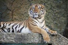 Η άγρια τίγρη Στοκ Φωτογραφίες