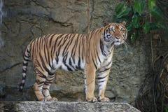 Η άγρια τίγρη Στοκ Εικόνες