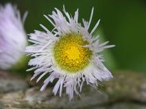 Η άγρια Daisy την άνοιξη στοκ εικόνες με δικαίωμα ελεύθερης χρήσης