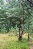 Η άκρη των δέντρων πεύκων Στοκ εικόνα με δικαίωμα ελεύθερης χρήσης
