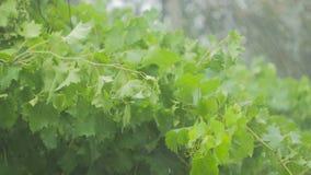 Η άμπελος και τα πράσινα φύλλα των σταφυλιών τρικλίζουν κάτω από μια δυνατή βροχή και έναν αέρα απόθεμα βίντεο