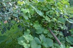 Η άμπελος συνδυάζεται με τους κλάδους ενός δέντρου της Apple στο θερινό κήπο Στοκ Φωτογραφία