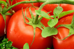 Η άμπελος ωριμάζει τις ντομάτες Στοκ φωτογραφία με δικαίωμα ελεύθερης χρήσης