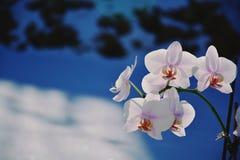 Η άνθηση της ορχιδέας έχει ένα μπλε υπόβαθρο, δροσερό υπόβαθρο στοκ φωτογραφίες