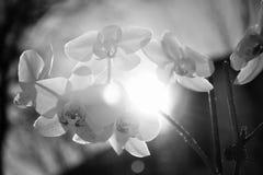 Η άνθηση της ορχιδέας με το φως του ήλιου στο πίσω, γραπτό υπόβαθρο στοκ φωτογραφία