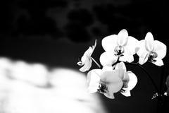 Η άνθηση των ορχιδεών ανθίζει, γραπτό υπόβαθρο στοκ φωτογραφίες με δικαίωμα ελεύθερης χρήσης