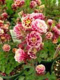 η άνθιση ανθίζει το ροζ Στοκ Εικόνα