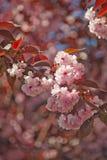 Η άνθιση αυξήθηκε δέντρο κερασιών Στοκ Φωτογραφία
