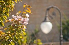 Η άνθιση αυξήθηκε δέντρο κερασιών Στοκ Φωτογραφίες