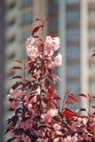 Η άνθιση αυξήθηκε δέντρο κερασιών Στοκ Εικόνες
