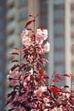 Η άνθιση αυξήθηκε δέντρο κερασιών Στοκ Εικόνα