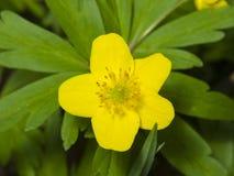 Η άνθιση κίτρινη ή η μακροεντολή λουλουδιών Anemone νεραγκουλών με το υπόβαθρο, ρηχό DOF, εκλεκτική εστίαση Στοκ Φωτογραφία
