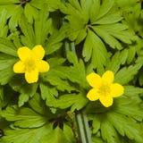 Η άνθιση κίτρινη ή η μακροεντολή λουλουδιών Anemone νεραγκουλών με το υπόβαθρο, ρηχό DOF, εκλεκτική εστίαση Στοκ φωτογραφίες με δικαίωμα ελεύθερης χρήσης