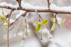 Η άνθιση και το χιόνι φύλλων έπεσαν Χιόνι στα πράσινα φύλλα Πρόσφατο χιόνι Άνοιξη Χιόνι άνοιξη Στοκ εικόνες με δικαίωμα ελεύθερης χρήσης