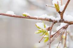 Η άνθιση και το χιόνι φύλλων έπεσαν Χιόνι στα πράσινα φύλλα Πρόσφατο χιόνι Άνοιξη Χιόνι άνοιξη Στοκ εικόνα με δικαίωμα ελεύθερης χρήσης