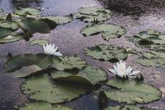 Η άνθιση κρίνων νερού λιμνών Στοκ Φωτογραφία