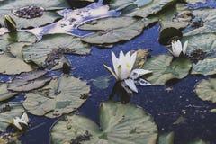 Η άνθιση κρίνων νερού λιμνών Στοκ φωτογραφία με δικαίωμα ελεύθερης χρήσης