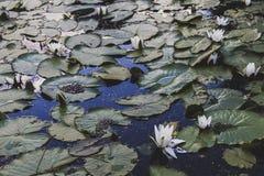 Η άνθιση κρίνων νερού λιμνών Στοκ Εικόνα