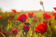 Η άνθιση κόκκινο Anemone Coronaria ανθίζει τον τομέα Στοκ φωτογραφία με δικαίωμα ελεύθερης χρήσης