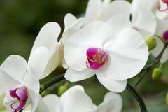 Η άνθιση λουλουδιών ορχιδεών στον κήπο λουλουδιών μπορεί να χρησιμοποιηθεί για τη συνέλευση στην επιστημονική βάση στοκ εικόνα