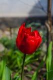 Η άνθιση μιας κόκκινης τουλίπας Στοκ φωτογραφίες με δικαίωμα ελεύθερης χρήσης