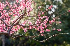 Η άνθιση λουλουδιών δαμάσκηνων Στοκ Εικόνες