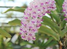 Η άνθιση λουλουδιών ορχιδεών gigantea Rhynchostylis εξωραΐζει την άνοιξη την ομορφιά της φύσης στοκ φωτογραφίες