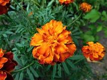 Η άνθιση των πορτοκαλής-Μαύρων Στοκ Εικόνα