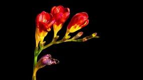 Η άνθιση Freesia λουλουδιών και εξασθενίζει, χρόνος-σφάλμα με το άλφα κανάλι απόθεμα βίντεο