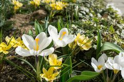 Η άνοιξη έχει έρθει, anemones και κρόκοι στην πλήρη άνθιση Στοκ Εικόνα