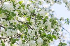 Η άνοιξη ανθίζει δέντρο μηλιάς στην ηλιόλουστη ημέρα Στοκ φωτογραφία με δικαίωμα ελεύθερης χρήσης