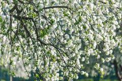 Η άνοιξη ανθίζει δέντρο μηλιάς στην ηλιόλουστη ημέρα Στοκ Εικόνες