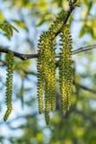 Η άνοιξη ανθίζει ξύλα καρυδιάς δέντρων Στοκ Εικόνα